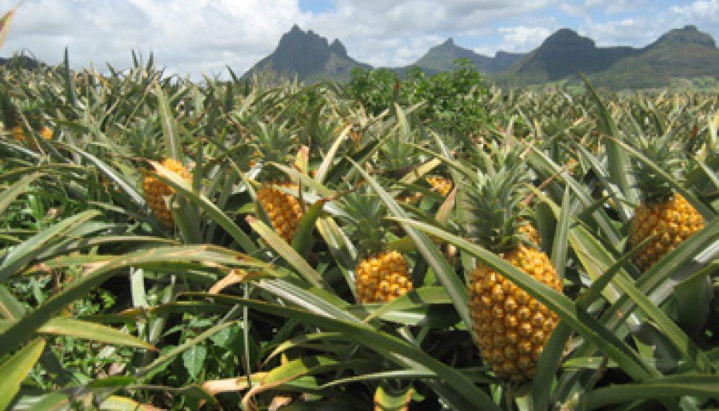 photo-libre-droit-ananas