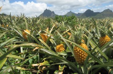 photo-libre-droit-ananas